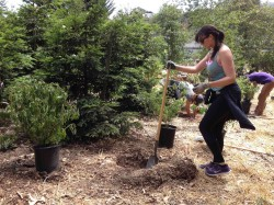 plantingRedwoodUnderstory2
