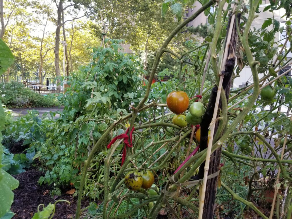 Tomatoes in RI Living Library & Think Park