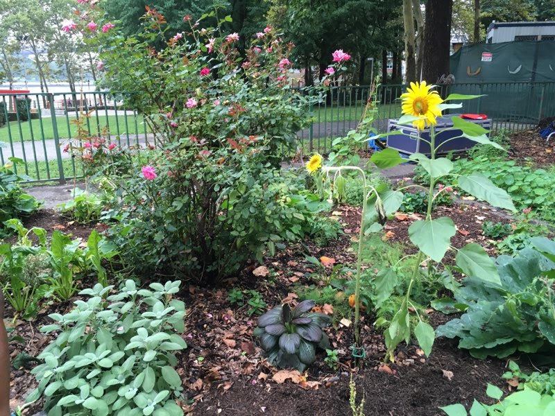 Sunflowers brighten our days and Gardens too - RI Livig Library & Think Park
